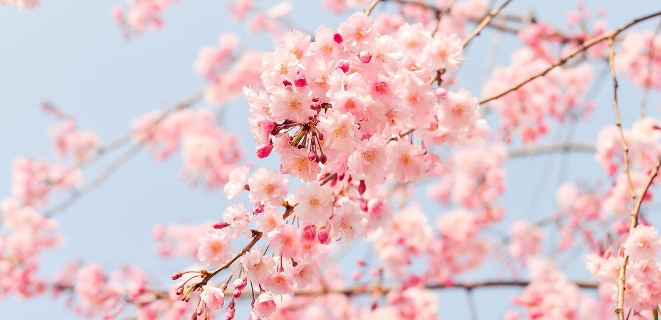 桜 花見 桜まつり 中止 ライトアップ